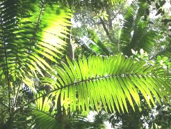 Tropical ferns on Fraser Island, Queensland.